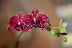 Spotted Phalaenopsis. Blossoms on a single branch Royalty Free Stock Photography