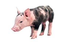 Spotted pig. Isolated on white background Royalty Free Stock Photography