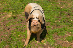 Spotted pig with black spots looking to camera standing in a field Stock Photos