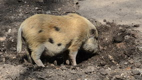 Spotted pig broken up in the ground Royalty Free Stock Photo