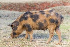 Spotted pig foraging for food. On a farm Royalty Free Stock Photo