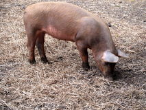 Spotted Pig. Rooting around in the hay Stock Image