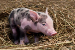 Spotted pig. Sitting on hay Royalty Free Stock Image
