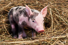 Spotted pig. Sitting on hay Royalty Free Stock Photos