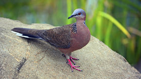 Spotted pigeon or dove Stock Photo