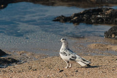 Spotted pigeon standing on beach Stock Photo