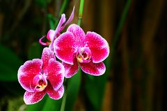 Spotted pink orchids Stock Photography