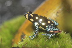 Spotted poison frog Stock Photo