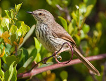 Spotted Prinia in green bush Stock Photography