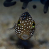 Spotted Puffer Royalty Free Stock Photography
