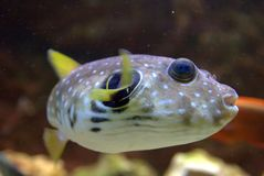 Spotted Puffer Fish Royalty Free Stock Images