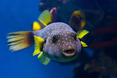 Spotted Puffer Fish. The White-Spotted puffer, Arothron Hispidus, a medium sized fish, light grey in color with small white spots. It also has concentric Stock Photo