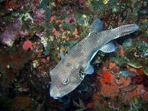 Spotted Puffer Fish, Bali Royalty Free Stock Photography