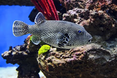 Spotted puffer fish Stock Photo