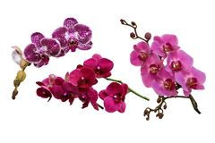Spotted purple, pink and lilac flowers of orchids phalaenopsis, royalty free stock images