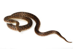 Spotted Python Stock Photos