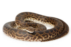 Spotted Python Royalty Free Stock Image
