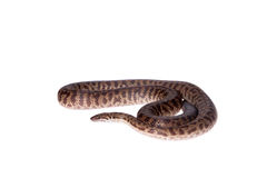 Spotted Python on white background royalty free stock photo