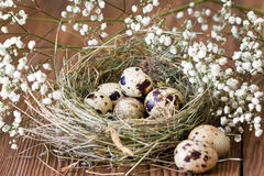 Spotted quail eggs in a nest on a wooden background Royalty Free Stock Images