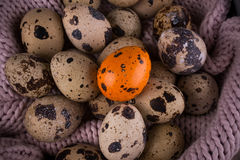 Spotted Quail eggs with one orange egg on knitted background Royalty Free Stock Photo