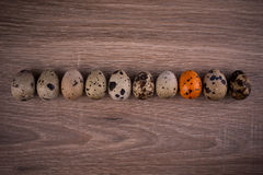 Spotted Quail eggs in a row with one orange egg on wooden background Stock Image