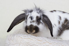 Spotted rabbit Stock Photography