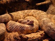 Spotted Rattlesnake, Snake Stock Photos
