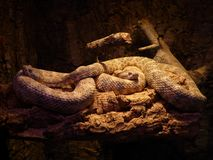 Spotted Rattlesnake, Snakes Royalty Free Stock Photography