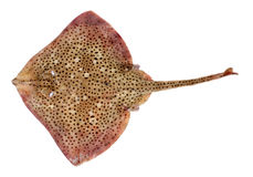 Spotted Ray Fish. Spotted Ray (Raja montagui) Isolated on White Background Royalty Free Stock Images