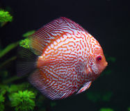 Spotted red discus fish. In aquarium Stock Photography