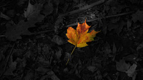 Spotted red maple leaf on black leaves Royalty Free Stock Photos