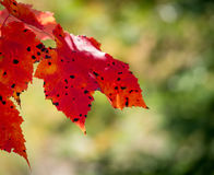 Spotted red maple leaves Royalty Free Stock Photos