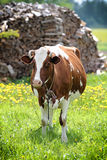 Spotted red-white cow. In field with woods Royalty Free Stock Photos