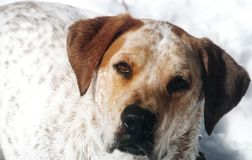 Pointer Mix. Spotted red and white dog in snow royalty free stock image