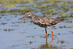 Spotted redshank Stock Images
