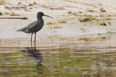 Spotted Redshank Royalty Free Stock Images