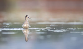 Spotted Redshank Close Up Stock Image