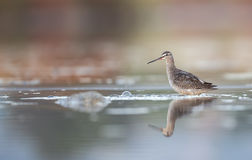 Spotted Redshank Close Up Stock Images