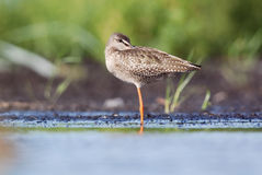 Spotted Redshank dozing. Spotted Redshank standing on one foot and falling asleep Stock Photos