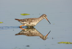 Spotted Redshank in mirror Royalty Free Stock Image