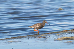 Spotted Redshank  / Tringa eryth Royalty Free Stock Image