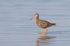 Spotted Redshank / Tringa erythropus. An adult of Spotted Redshank in water / Tringa erythropus Stock Photos