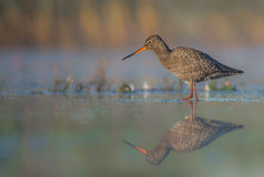 Spotted Redshank - Tringa erythropus. Feeding at the wetland Stock Photography