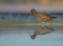 Spotted Redshank - Tringa erythropus. Feeding at the wetland Stock Photos