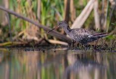 Spotted Redshank - Tringa erythropus Royalty Free Stock Images