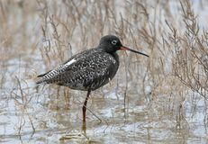 The spotted redshank Tringa erythropus the male. In the plumage stands in the water among the grass Royalty Free Stock Images