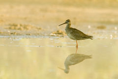 Spotted redshank Royalty Free Stock Photos