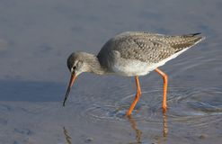A stunning Spotted Redshank Tringa erythropus searching for food in a sea estuary. A Spotted Redshank Tringa erythropus searching for food in a sea estuary Stock Image