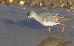 A stunning Spotted Redshank Tringa erythropus searching for food in a sea estuary. A Spotted Redshank Tringa erythropus searching for food in a sea estuary Stock Images