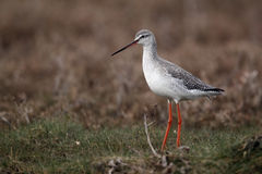 Spotted redshank, Tringa erythropus. Spotted redshank,Tringa erythropus, single bird standing on grass, Norfolk, March 2010 Royalty Free Stock Photo